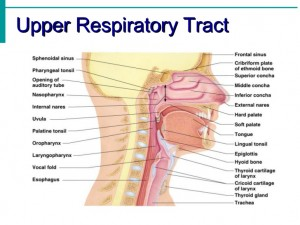 The Upper Respiratory Tract